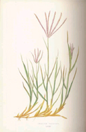 A Natural History of British Grasses by E.J. Lowe